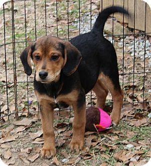 Yardley Pa Beagle Basset Hound Mix Meet Isaac A Puppy For