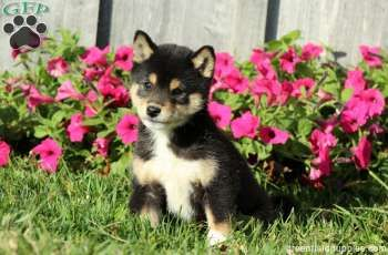 Shiba Inu Puppies For Sale In Pa Shiba Inu Puppy Shiba Inu