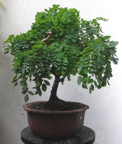 Robinia Pseudoacacia Seeds For Bonsai Tree Shohin Bonsai Tree Potted Trees Bonsai