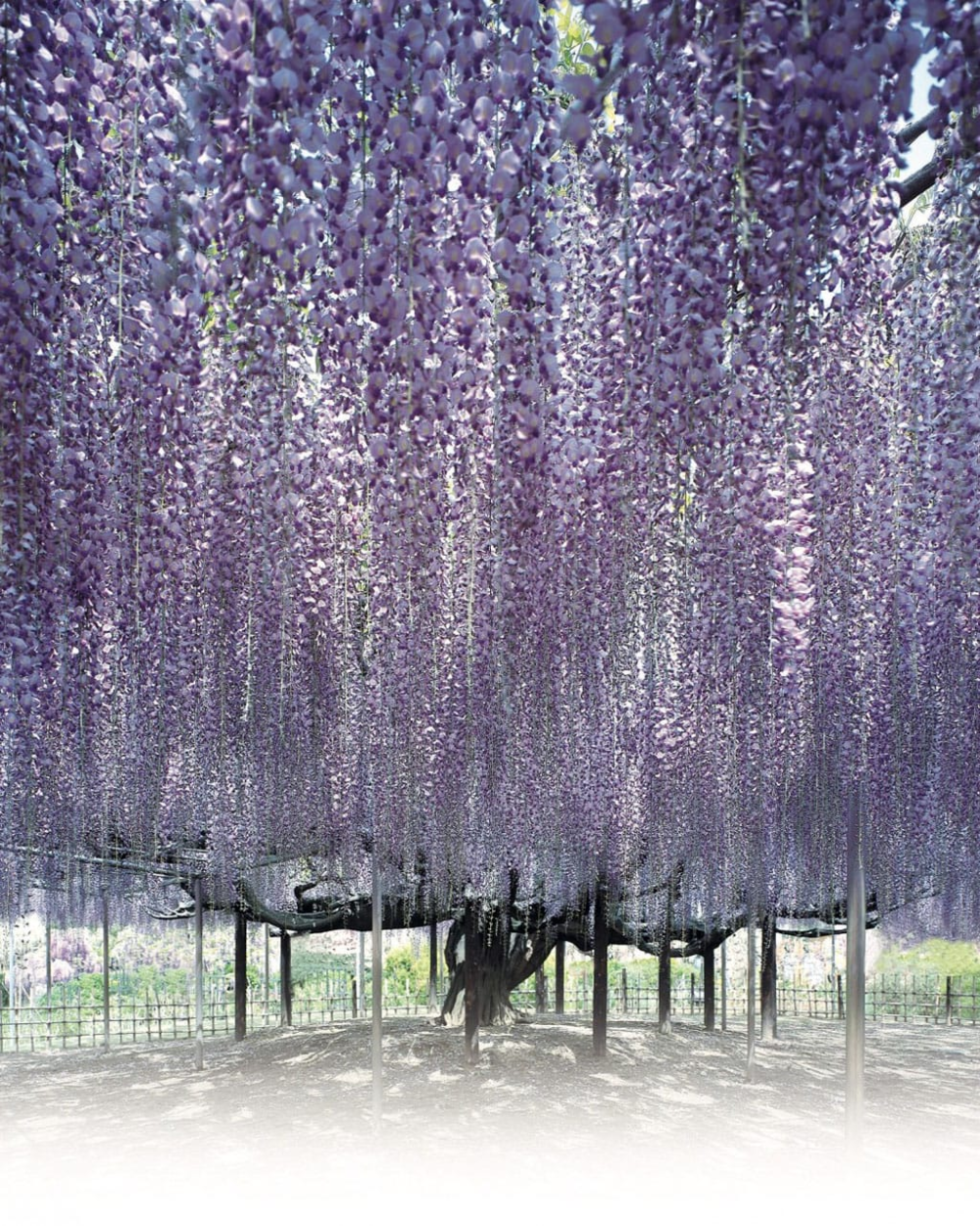 Ashikaga Flower Park In Tochigi A Dream Destination Near Tokyo Matcha Japan Travel Web Magazine In 2020 Ashikaga Wisteria Flower Garden