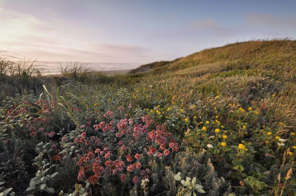 Native Flowers Lanphere Dunes Humboldt Bay National Wildlife