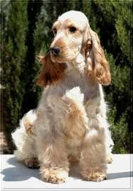 Image Result For Orange And White English Cocker Spaniel Spaniel Breeds English Cocker Cocker Spaniel