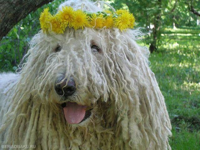 Hippie Komondor – Hungarian Sheepdog