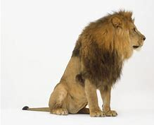 Male Lion Sitting Side View Bing Images Male Lion Lion Animals