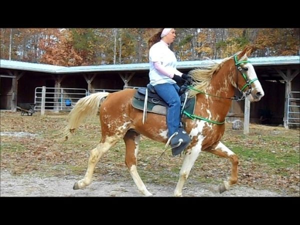 Racking gelding!!!!!****** - $3000 (Shelby County, Ky ...