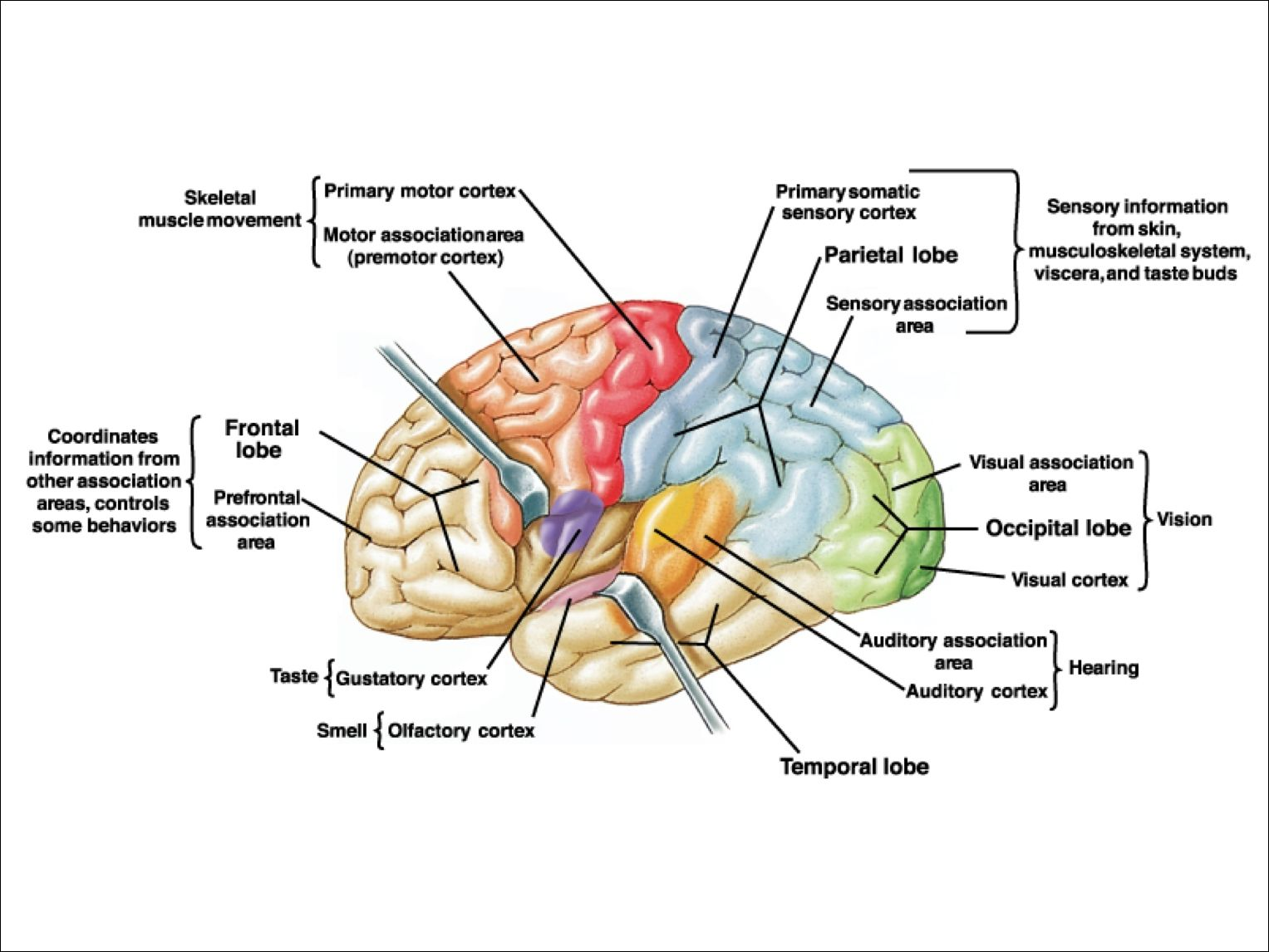 Canine Brain Anatomy Movement Science Motor Control At