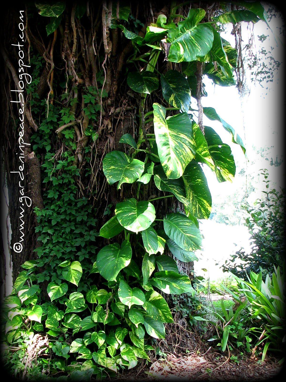 Giant Pothos Google Search Tropical Backyard Plants