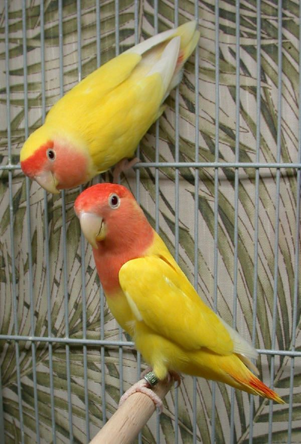 Intraspecies Diversity Pretty Birds Pet Birds Beautiful Birds