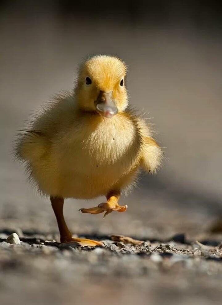 Pin by GarriAnne on Duckies   Pinterest   Animal, Bird and Baby ducks