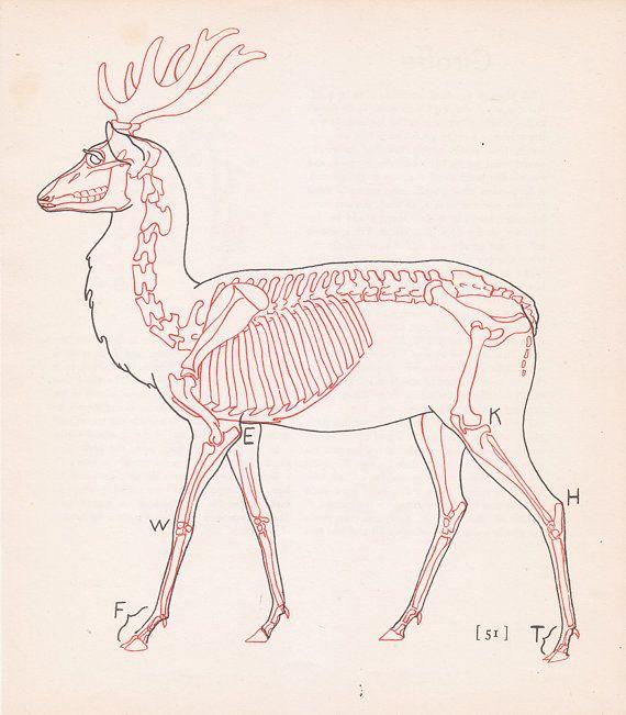 Vintage Deer Anatomy Print Skeleton Illustration Book Plate Color ...