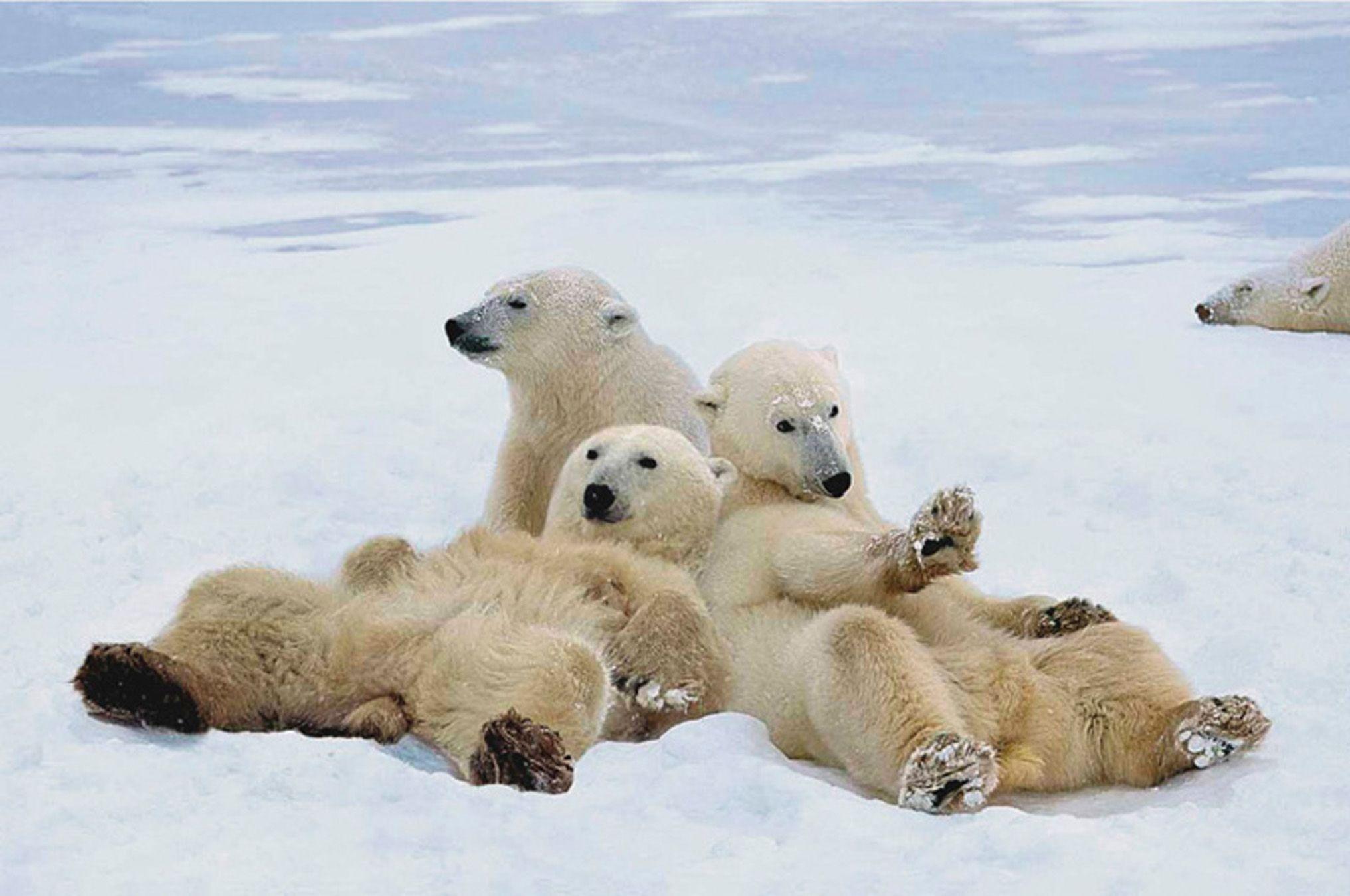 polar bears | polar bears - wallpaper hd : just free wallpaperz