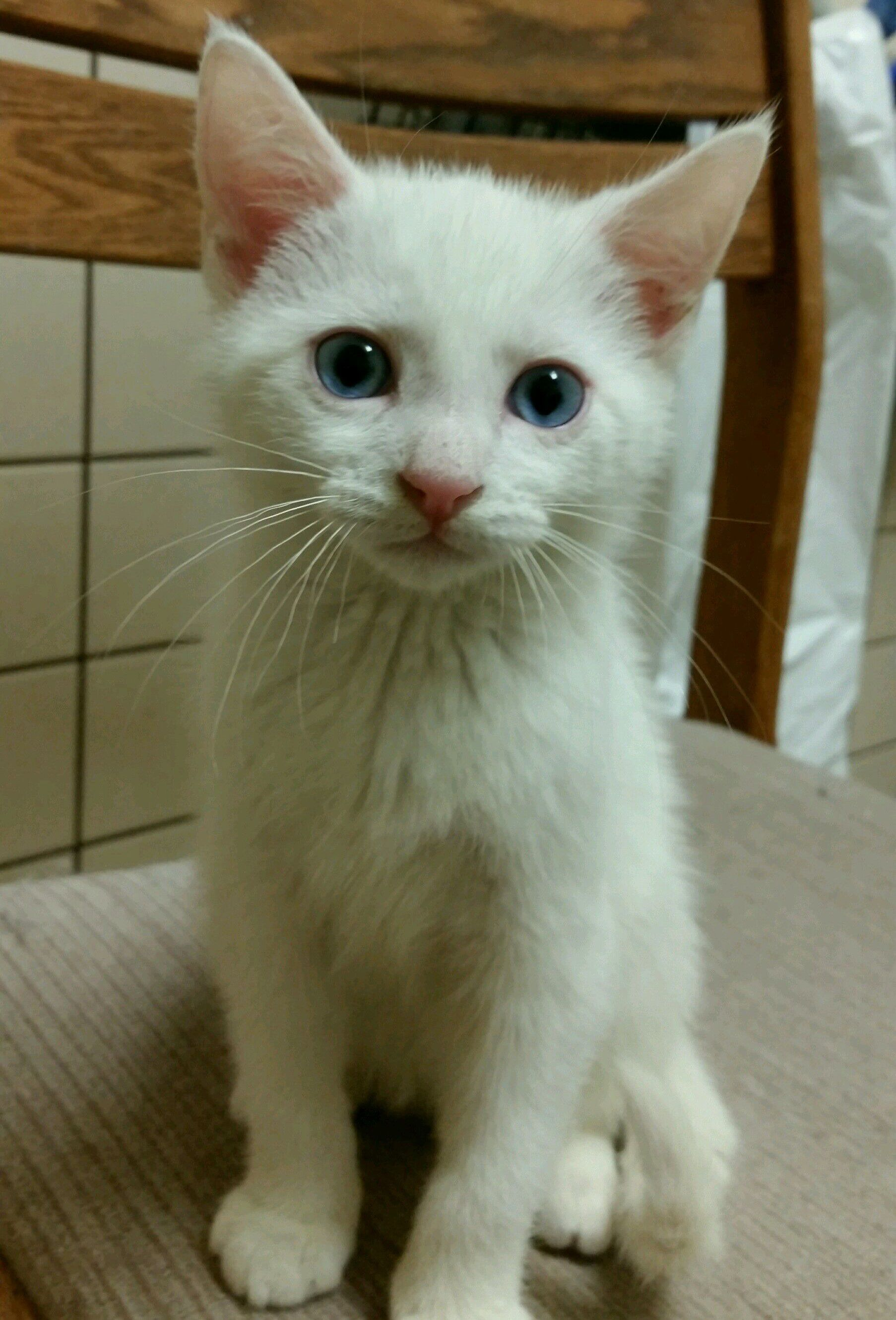 Smudge Is A 9 Week Old White Kitten With A Bit Of Black On His Head And Blue Eyes He S Friendly Curious And Has Been Kitten Adoption Cats And Kittens Kittens