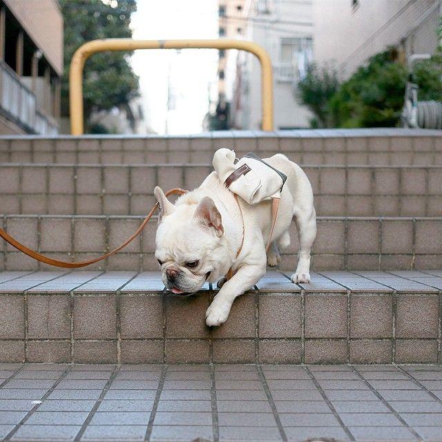 階段降りる フレンチブルドッグ フレブル フレンチブル frenchbulldog frenchie instafrenchie  doglover bully BullyInstaFeature