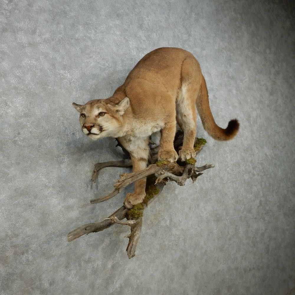 Pin on Cougar Taxidermy