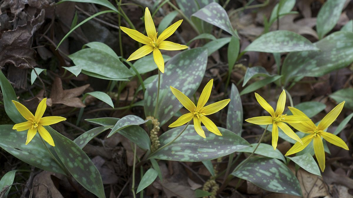 Erythronium rostratum, Yellow Fawn Lily Wikipedia