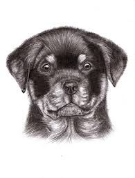 How To Draw A Rottweiler Aaawwwwww