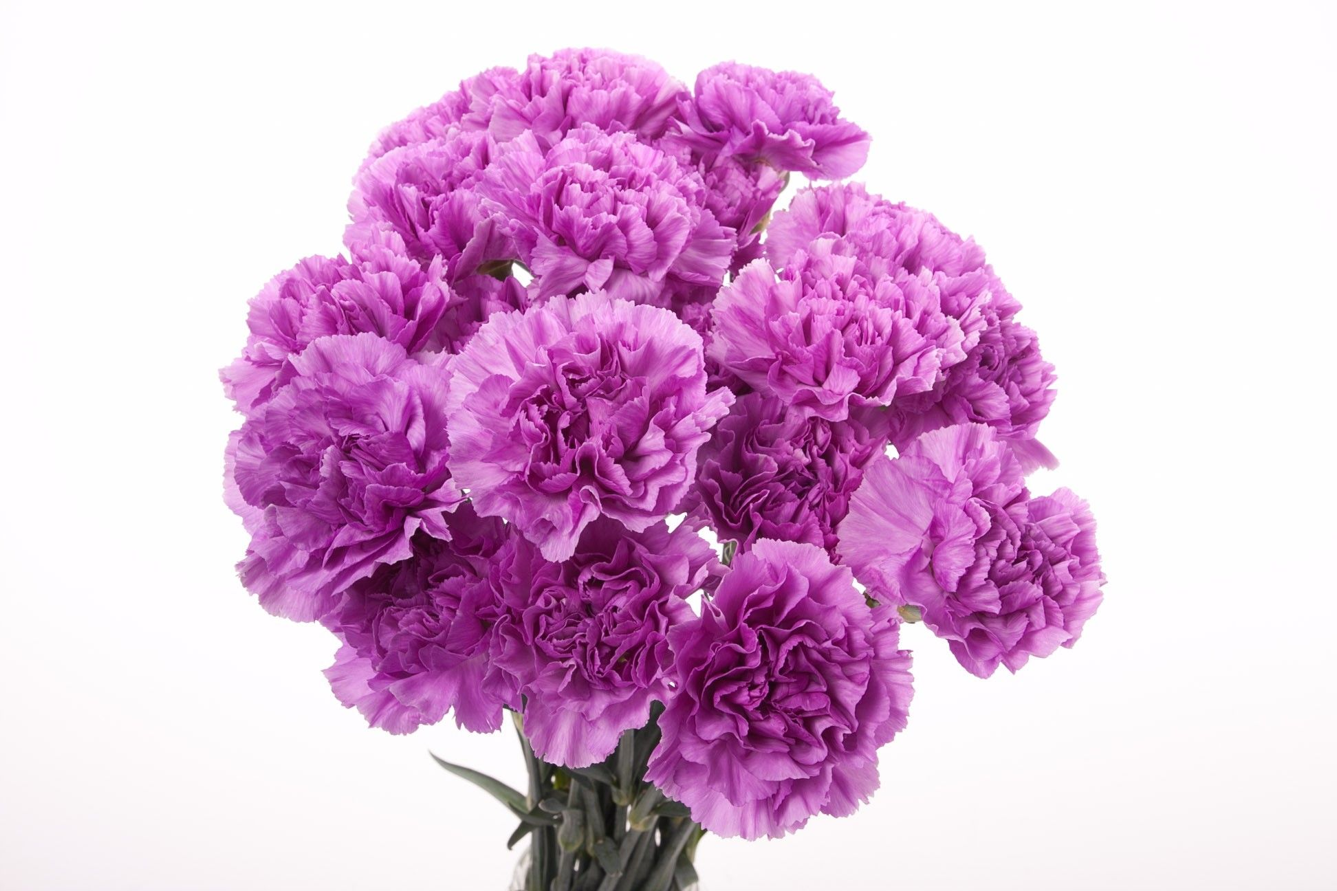 Flower Type carnations Twotone Purple Carnations