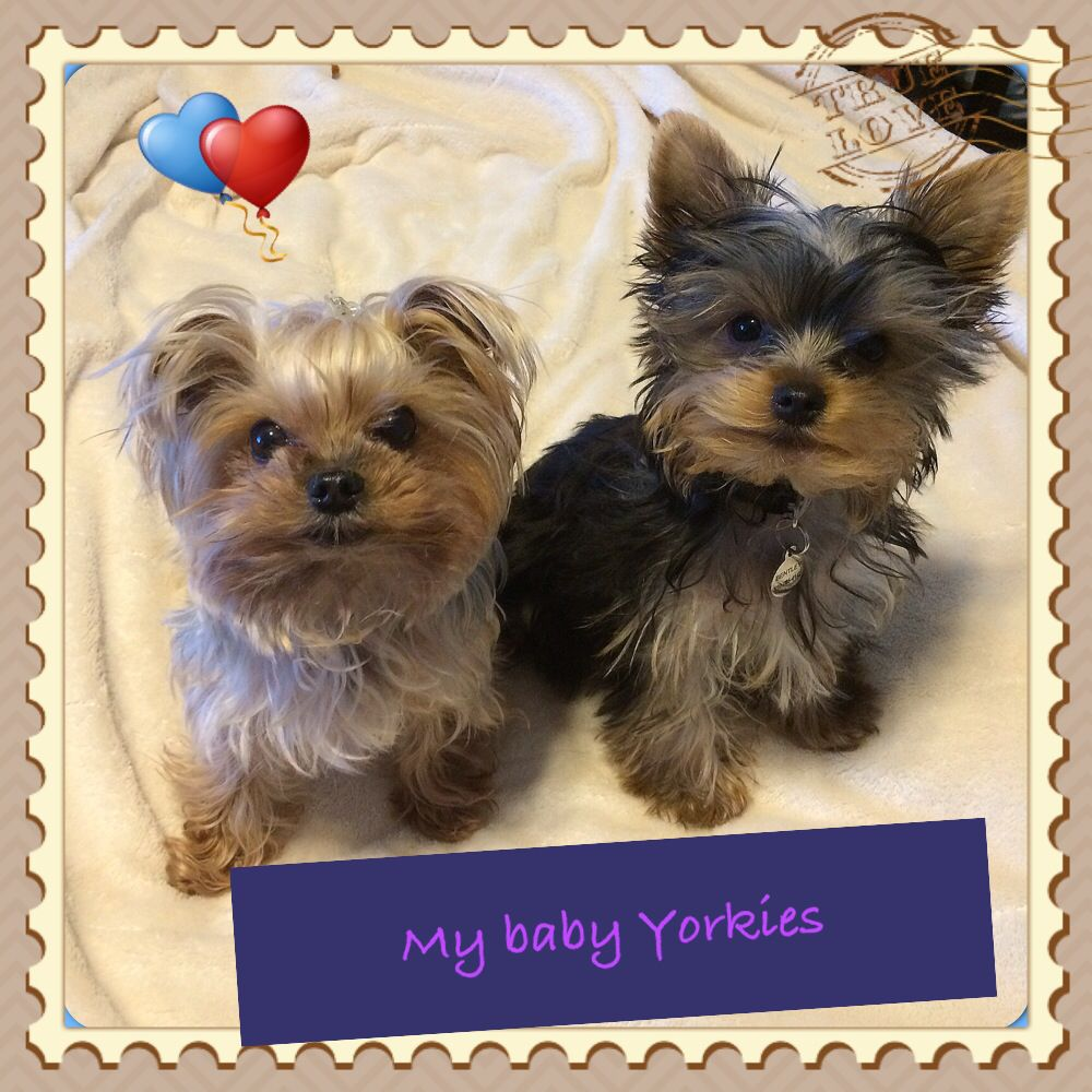 My baby yorkies Yorkie, Yorkie moms, Yorkshire terrier dog