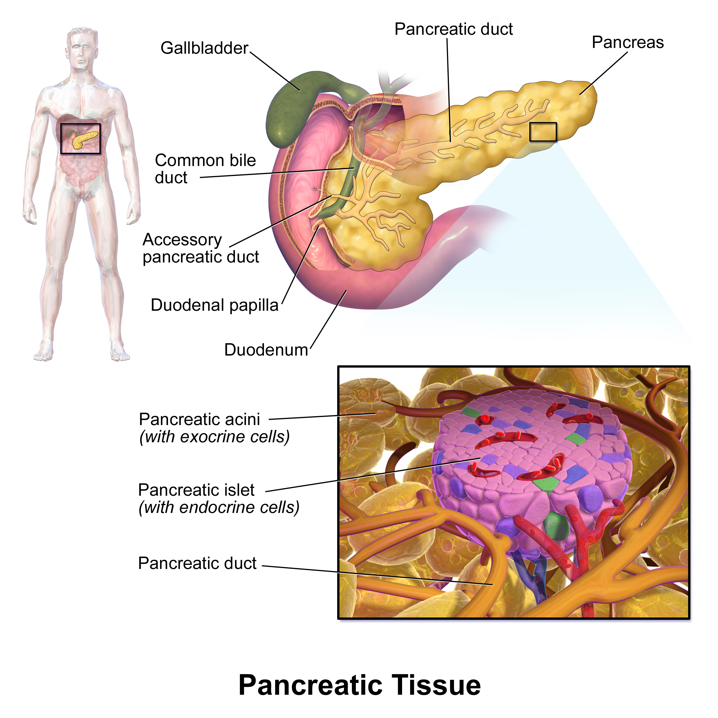 The pancreatic islets are located within the pancreas and are ...