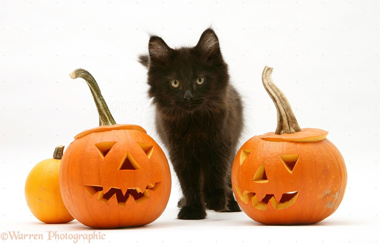 Most Inspiring Wallpaper Halloween Kitten - cb111351c38ed356ceffbb1646e375e2  Snapshot_866480.jpg