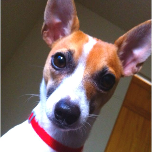 My Handsome Rat Terrier Dexter Terrier Puppies Toy Fox Terriers