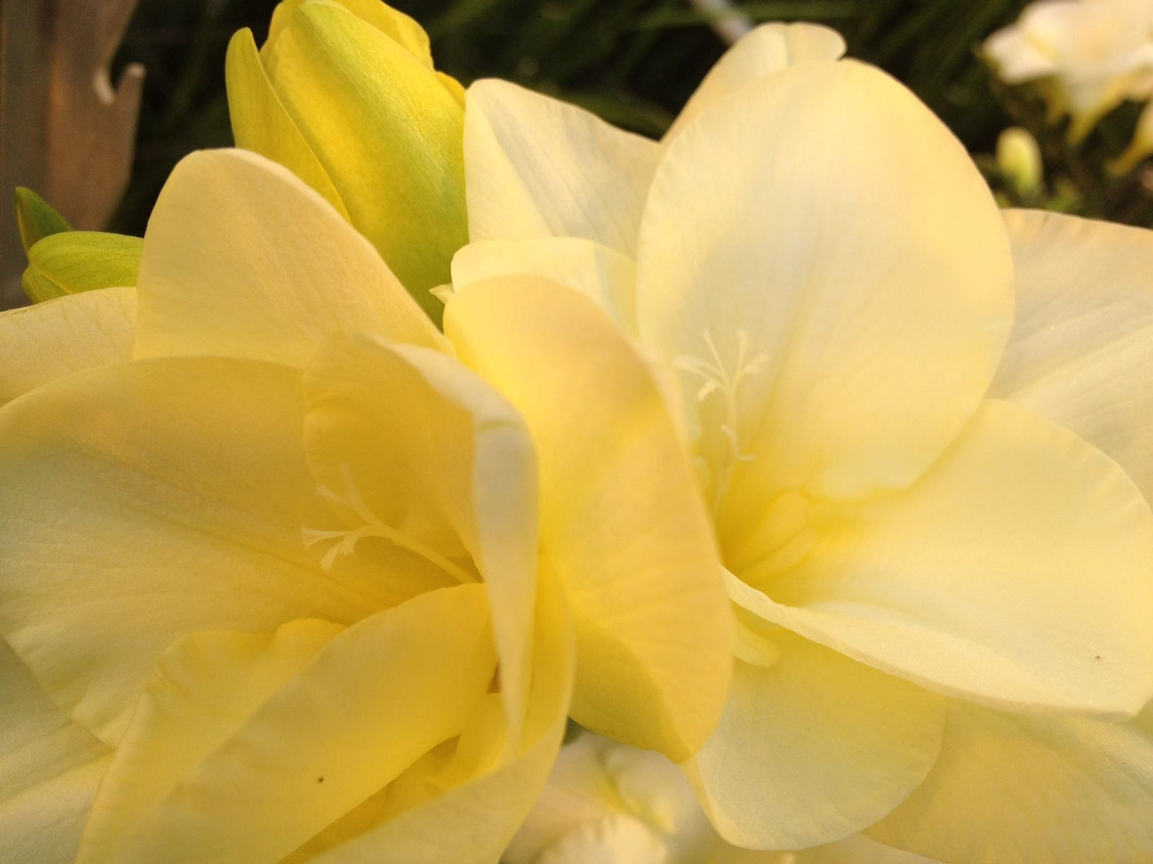 Soft Yellow New Freesia Selection Flowers Freesias Pinterest