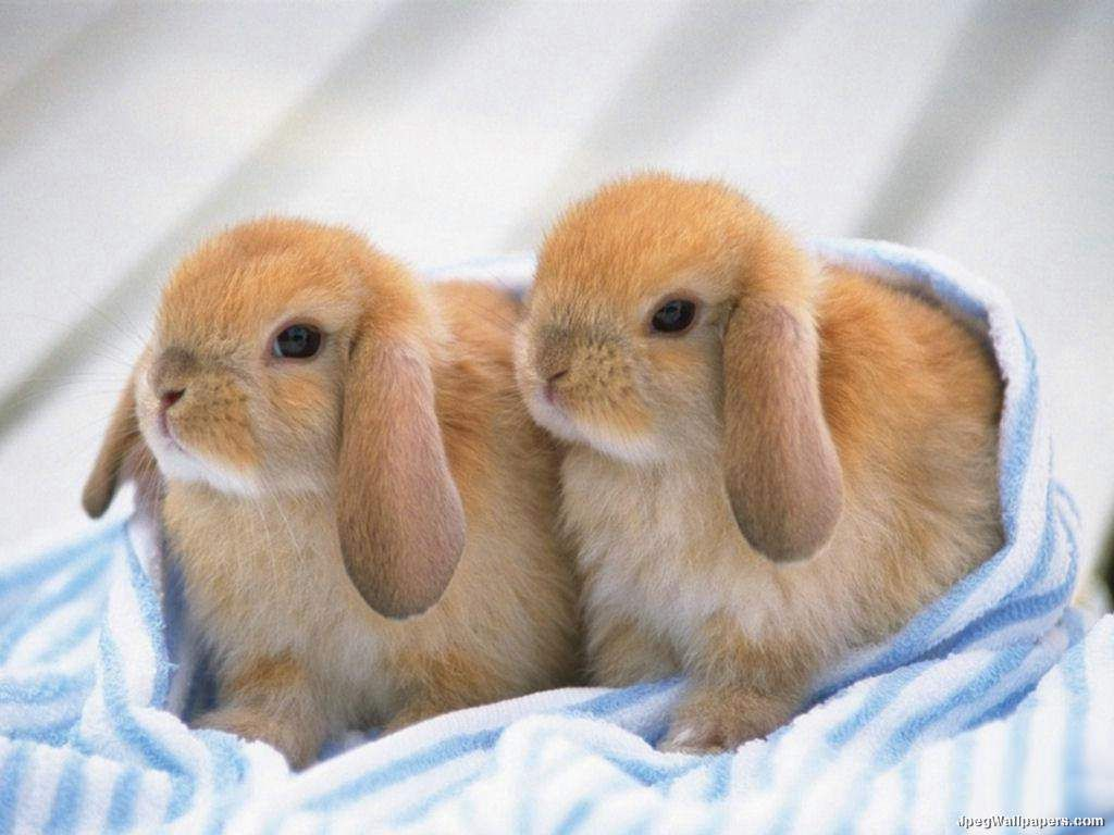 Image detail for -Download Animals wallpaper, 'Rabbits'.