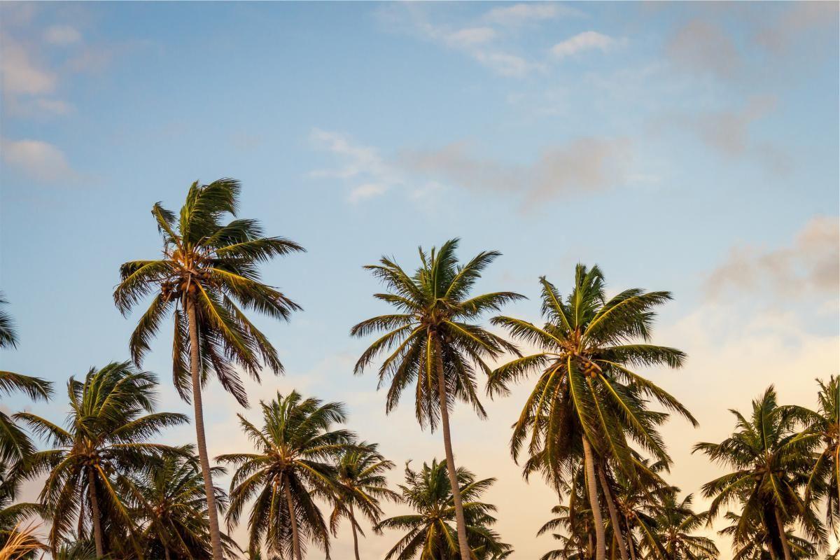 ✳ New free photo at Avopix.com - palm trees blue sky     🏁 https://avopix.com/photo/18898-palm-trees-blue-sky    #palm #palm trees #blue #coconut #sky #avopix #free #photos #public #domain