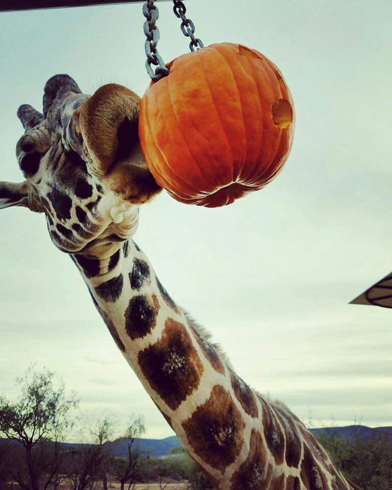 Giraffe pumpkin feeder. Posted on Facebook by Jessica maleah Lowthorp