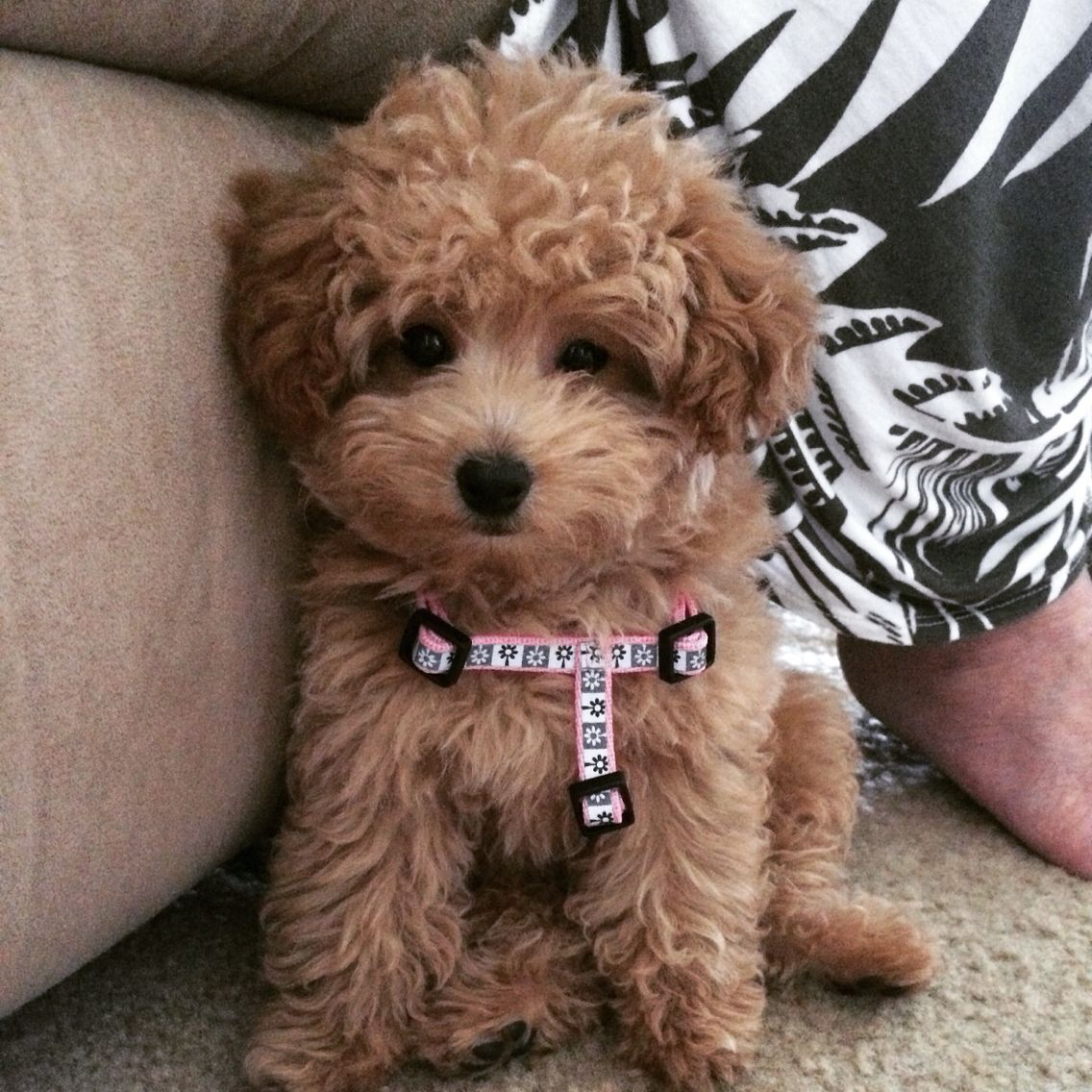 Little Baby Toy Poodle Smooches Toy Poodle Pooch Poodle