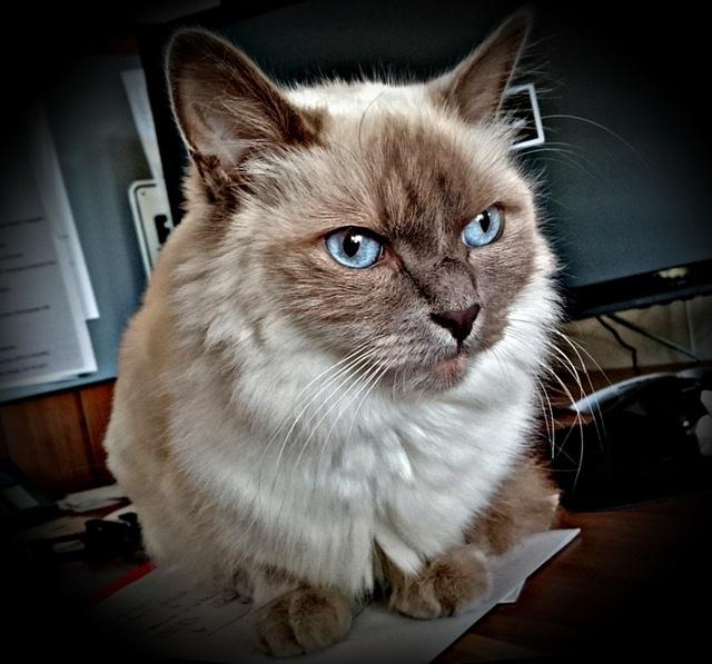 ข อม ลการเล ยงด แมวเปอร เซ ย ร ปภาพแมวเปอร เซ ยน าร กๆ 21 ภาพ Cats Persian Cat Pets