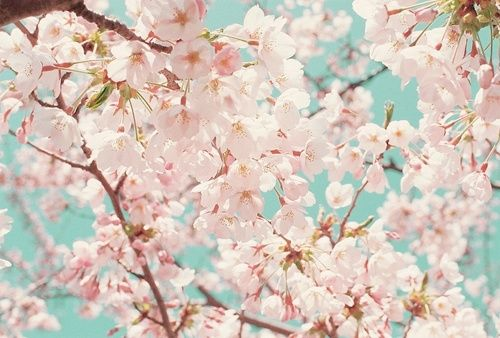 Cherry Blossoms Cherry Blooms Cherry Blossom Cherry Blossom Tree