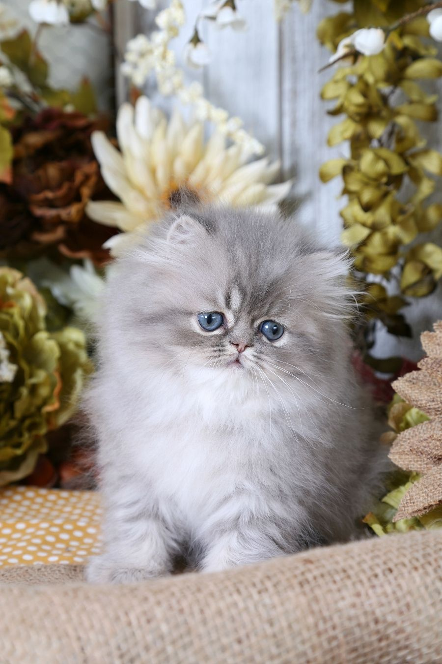 Blue Silver Tabby Persian Kitten For Sale Cute Cats And Dogs Baby Cats Persian Kittens