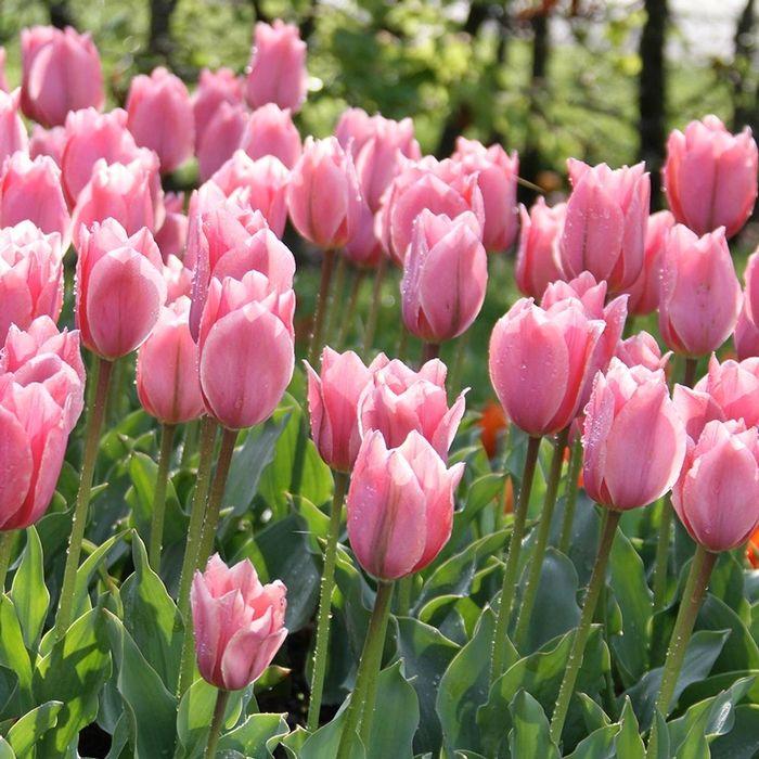 Tulip Albert Heijn A Bright Lipstick Pink Tulip With A Lavender Sheen Like Other Emperor Tulips Albert Heijn Is Big Bulb Flowers Outdoor Flowers Flowers