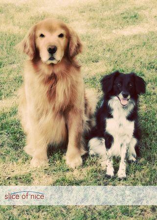 Border Collie And Golden Retriever Posing Pretty Golden