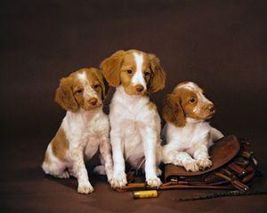 American Brittany Spaniel Wiegref Epagneul Breton Brittany Spaniel Dogs Brittany Dog Brittany Spaniel