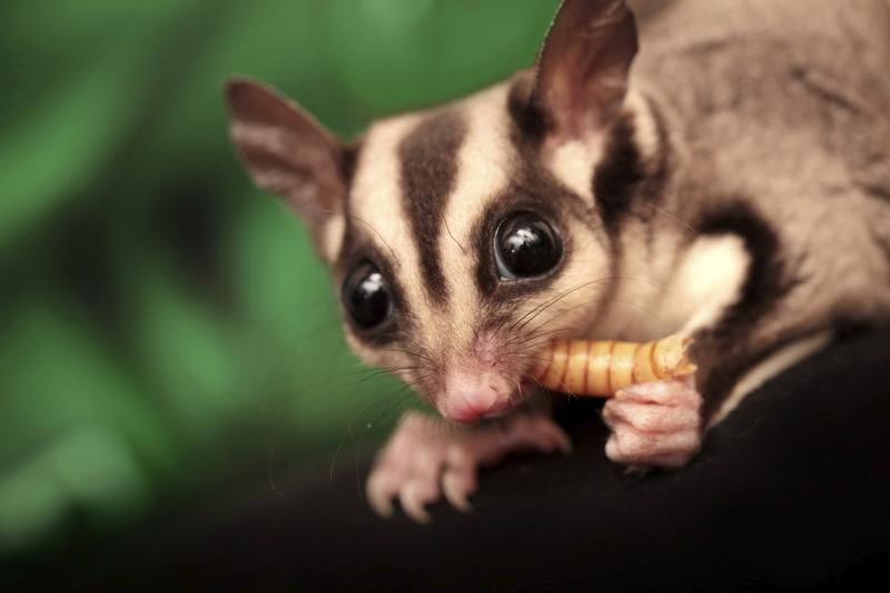 List Of Foods That Sugar Gliders Can Eat Cuteness Sugar Glider Baby Sugar Glider Sugar Glider Pet
