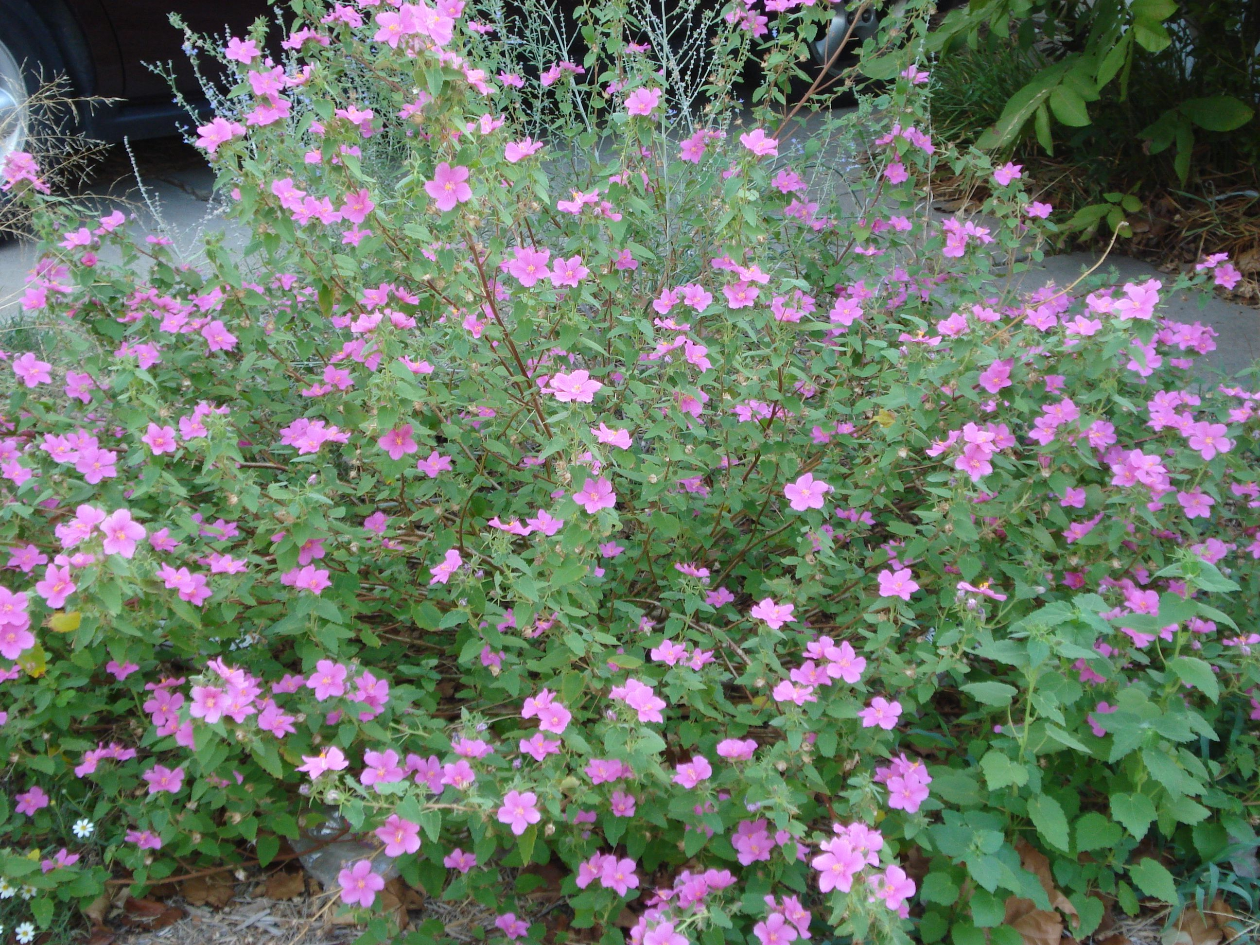 Texas Rock Rose Rolling With The Punches Beautiful Flowers