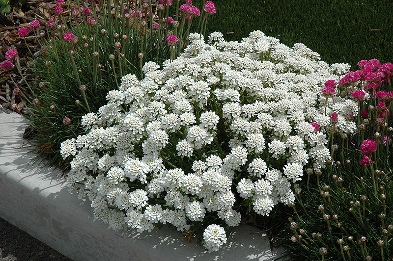 Evergreen Candytuft Small Bush Plant That Blooms All Summer Long