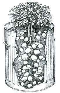 Planting potatoes in a plastic garbage can or defunct rain barrel - great repurposing!