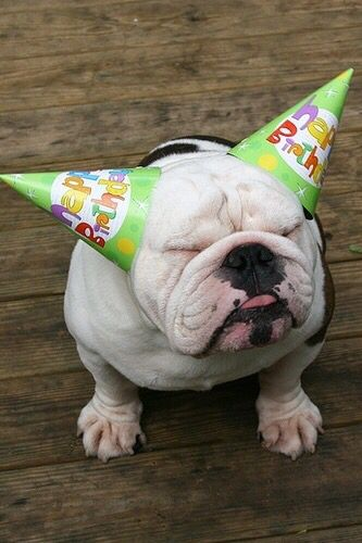 English Bulldog Wearing His Colorful Birthday Hats Don T Tell