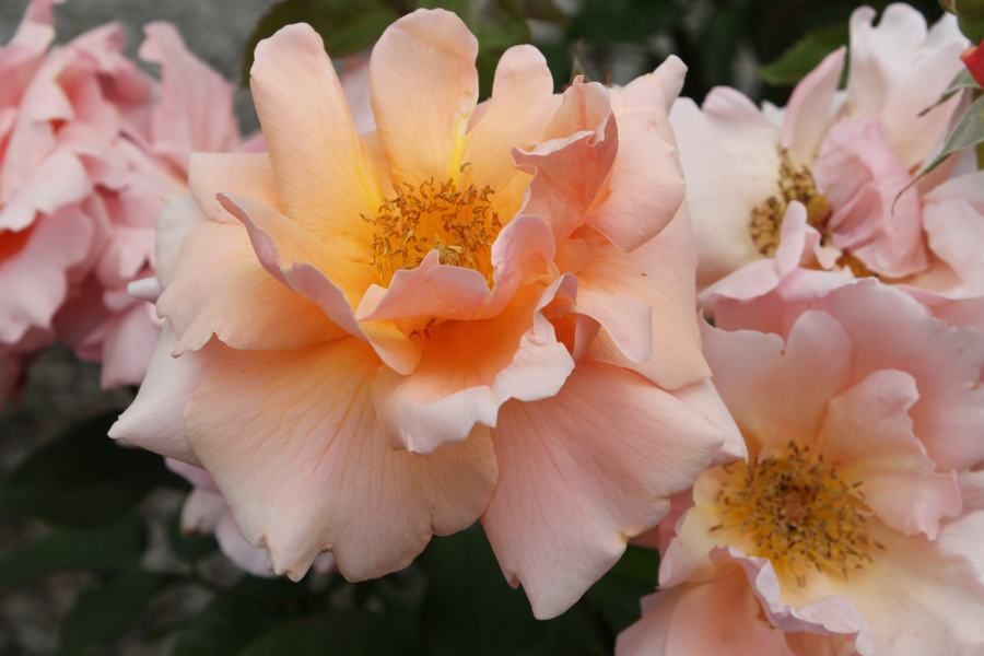 monthly rose care tips wilsons garden center shown is rose apricot candy - Wilsons Garden Center