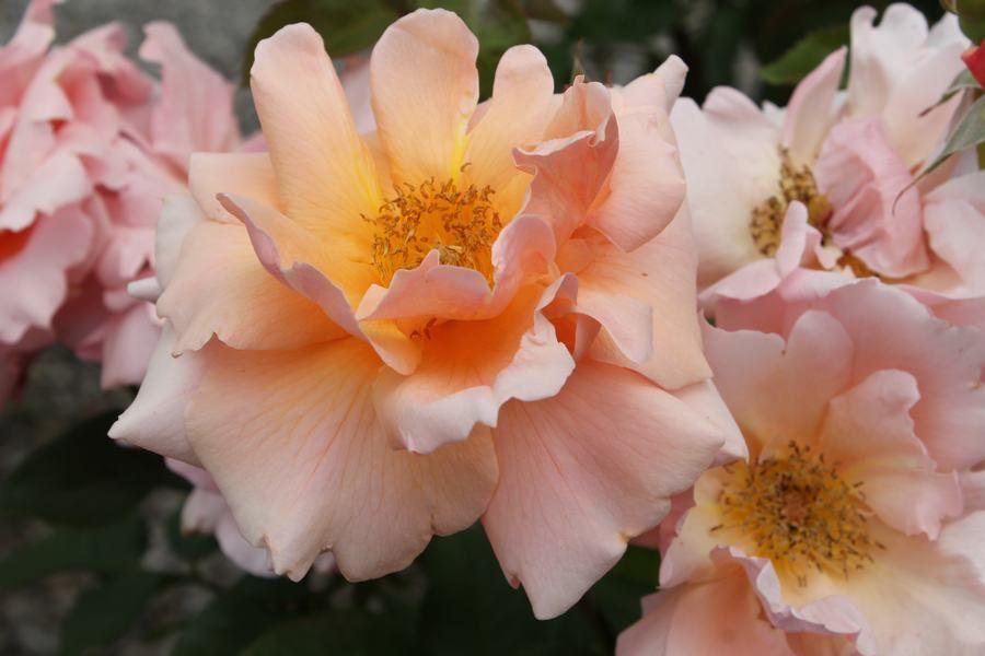 monthly rose care tips wilsons garden center shown is rose apricot candy - Wilsons Garden Center