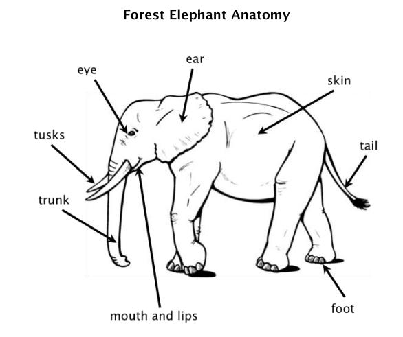 Image result for parts of the elephant | End engender especies ...