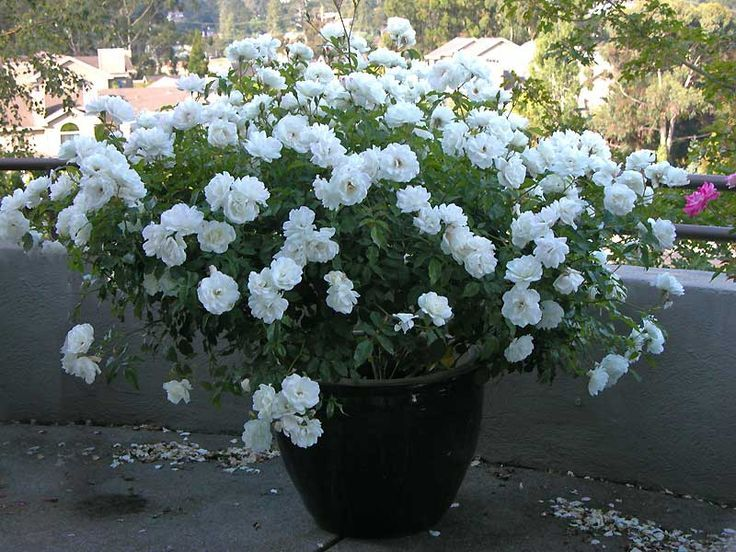 White Garden Rose Bush roses in containers - google search | roses - garden and