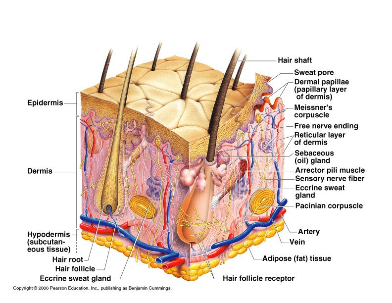 the body | the integumentary system is the external covering of the ...