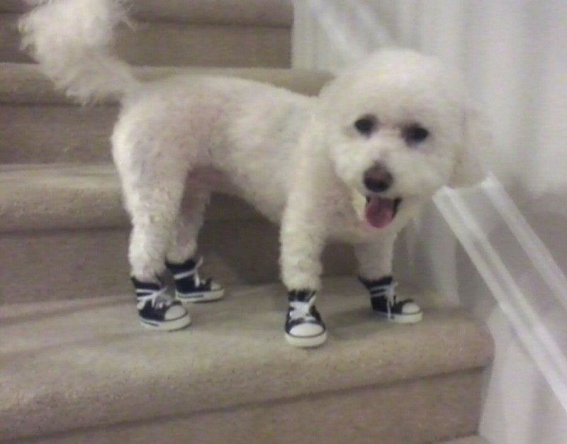 Comet wearing blue converse style dog