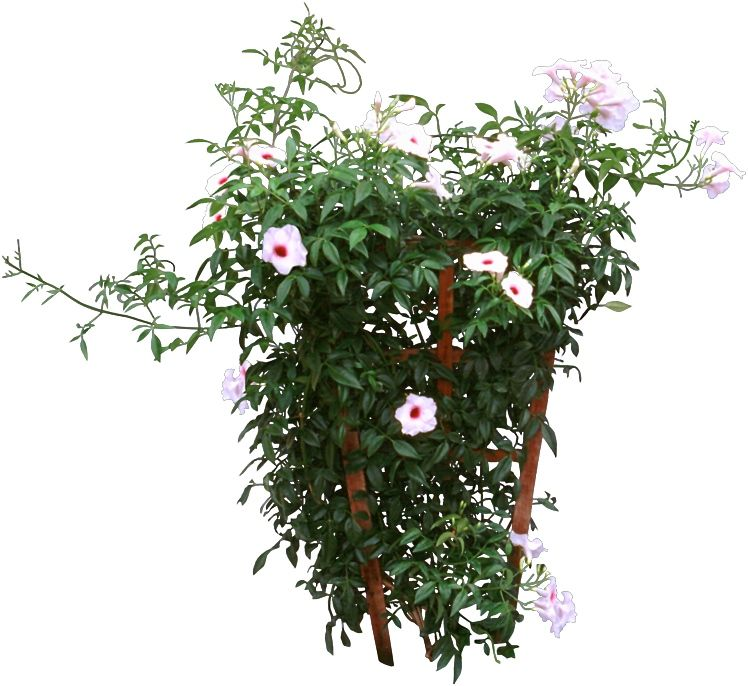 unusual houseplants an indoor jasmine has shiny oval leaves and white waxy tubular flowers that develop from pink buds - Flowering House Plants Identification