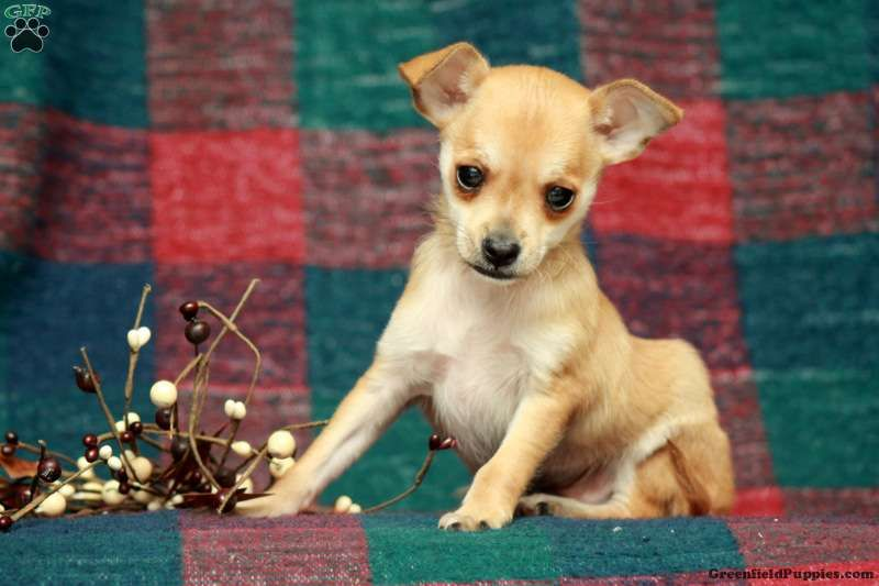 Benji Chihuahua Puppy For Sale In Pennsylvania