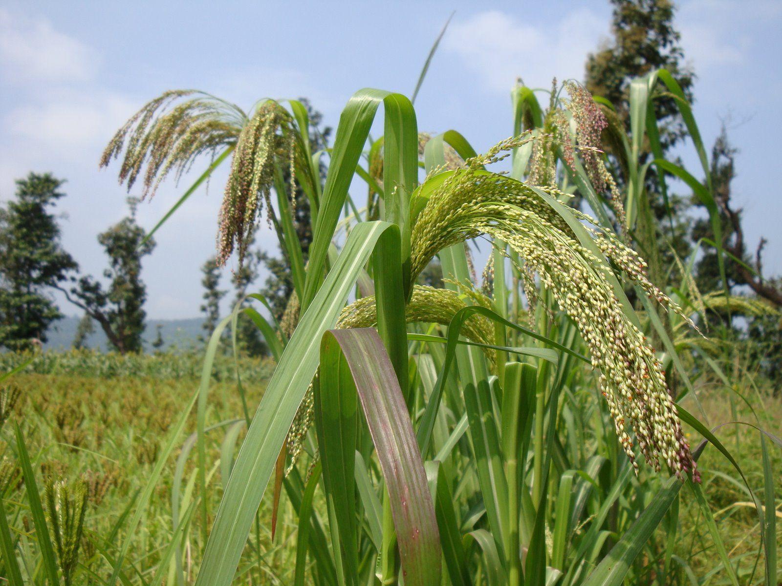 Proso Millet | Grain Crops | Pinterest
